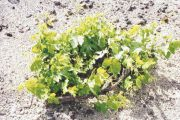 Preservation of the Viniculture Techniques in the Vineyards of Santorini